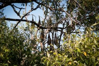 Yeppoon, bats tree