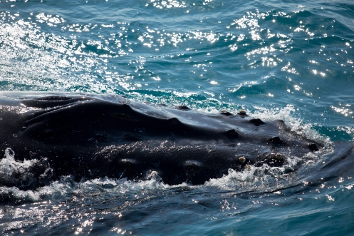 Hervey Bay whales tour